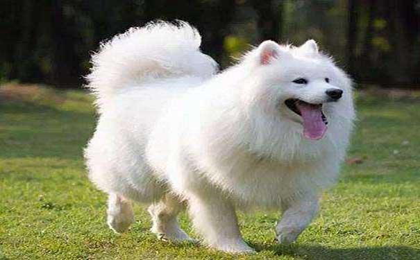 金毛犬的寿命有多长?